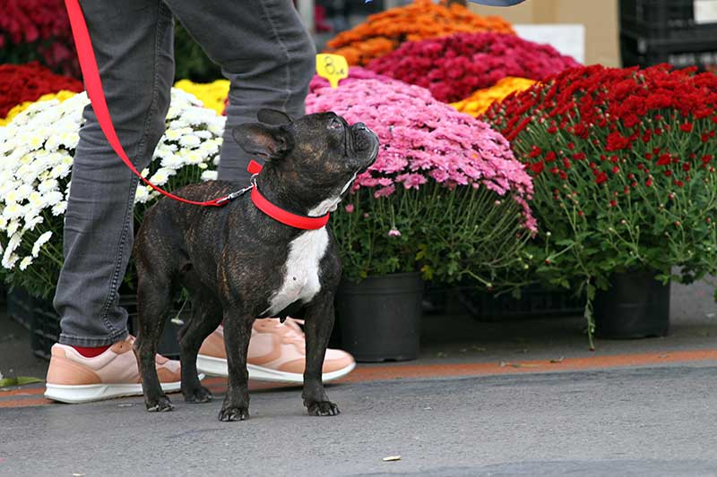 Photo of a french bulldog in an urban farmer's market setting